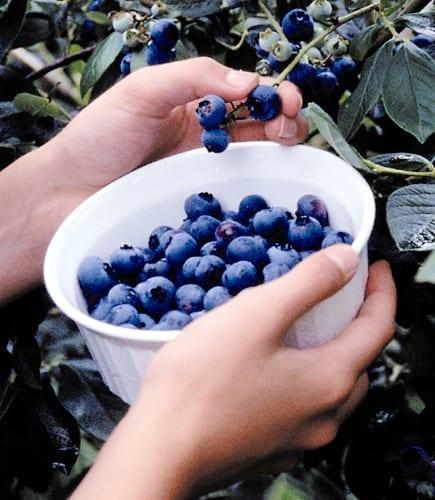 Paul Gautschi favorite blueberry